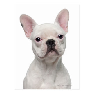 French Bulldog Puppy (5 months old) Postcard