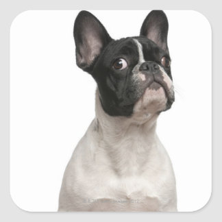 French Bulldog puppy (5 months old) Square Sticker