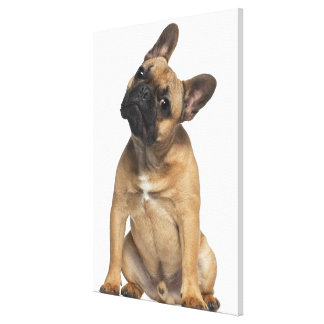 French Bulldog puppy (7 months old) Canvas Print