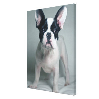 French Bulldog Puppy At Attention Canvas Print