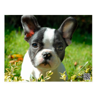French bulldog puppy behind the foliage postcard