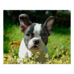 French bulldog puppy behind the foliage poster