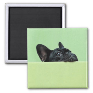 French Bulldog Puppy Peering Over Wall Square Magnet