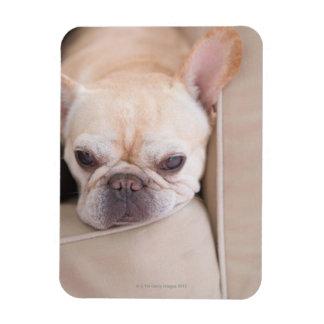 French bulldog resting on sofa magnet