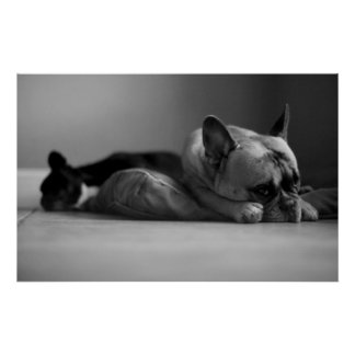 French Bulldog Sorry Poster