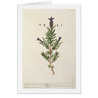 French Lavender, plate 241 from 'A Curious Herbal' Card