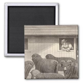 French merino sheep magnet