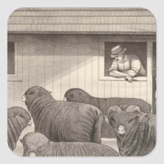 French merino sheep square sticker