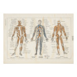 French Muscle Anatomy Vintage Chart 1800's Print