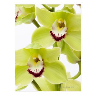 Fresh Green Orchid - Isolated on white Postcards