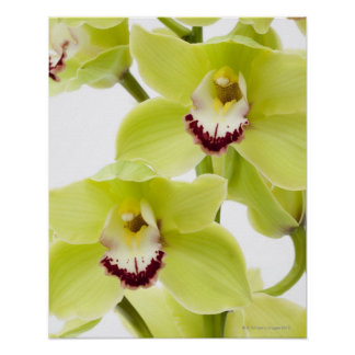 Fresh Green Orchid - Isolated on white Poster