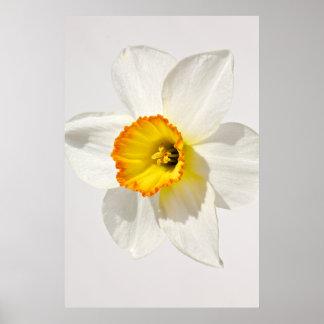 Fresh picture of a daffodil print