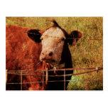 Friendly Cow Post Card