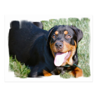 Friendly Rottweiler Postcard