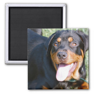 Friendly Rottweiler Square Magnet