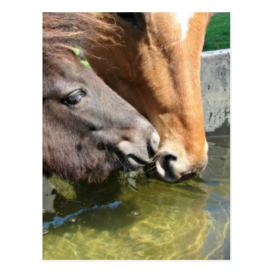 Friends Share A Drink Horses Postcard