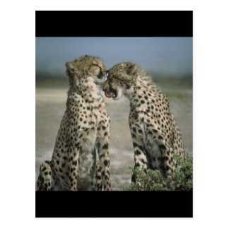 Friendship-Cheetahs Postcard