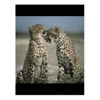 Friendship-Cheetahs Postcard