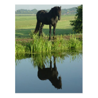 Friesian Horse Reflection in water Post Cards