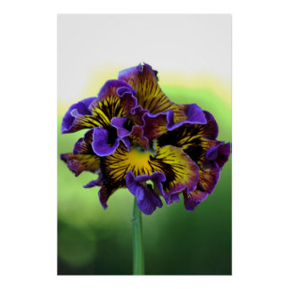 Frilly Pansy Flower Poster