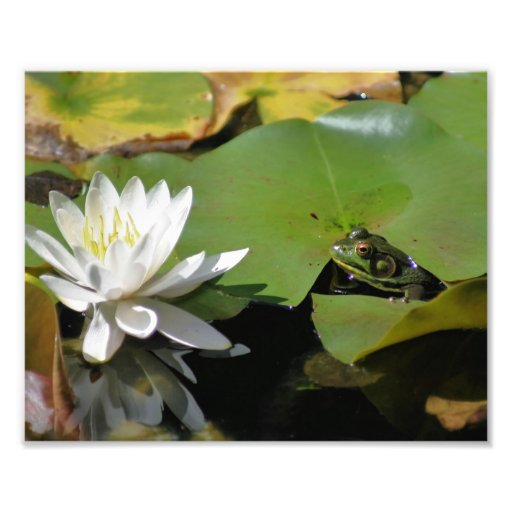 Frog Admiring Water Lily 10x8 Nature Print Photograph