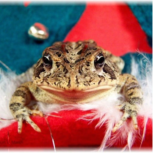 Frog Christmas , Tinsel, feathers, santa pattern Photo Sculpture Magnet