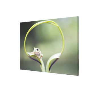 Frog on plant stem, Biei, Hokkaido, Japan Canvas Print