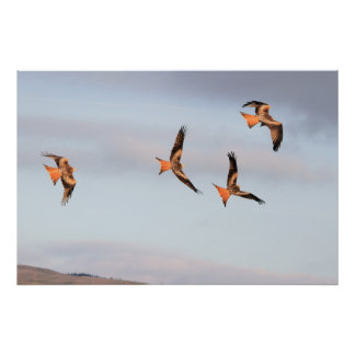 Frolicking Red Kite Print