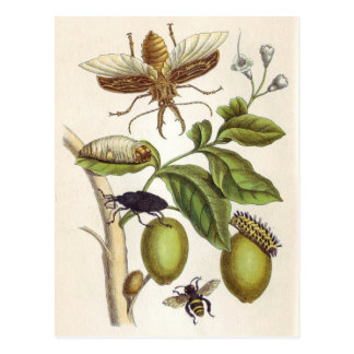 from Metamorphosis insectorum Surinamensium, Plate Postcard