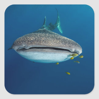 From view of a Whale Shark Square Sticker