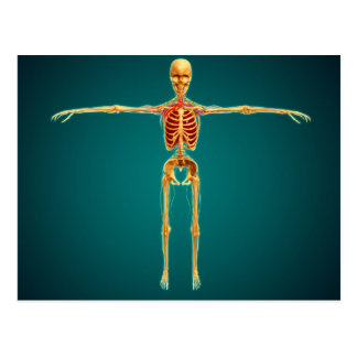 Front View Of Human Skeleton With Nervous Postcard