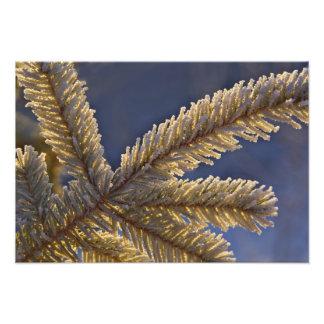 Frost on evergreen tree, Homer, Alaska Photograph
