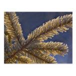 Frost on evergreen tree, Homer, Alaska Postcard
