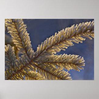 Frost on evergreen tree Homer Alaska Posters