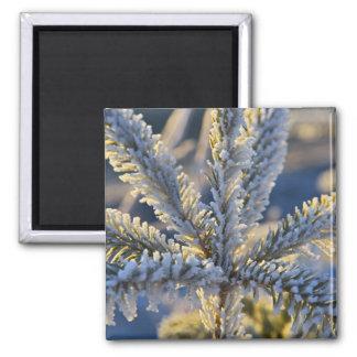 Frost on evergreen tree, Homer, Alaska Square Magnet