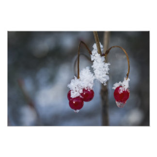 Frosted Berries Photo Print