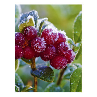 Frosted lingonberries postcard