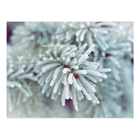 Frosty Pine Bough Postcard