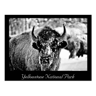 Frosty Yellowstone Bison Postcard