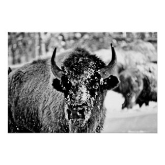 Frosty Yellowstone Bison Poster