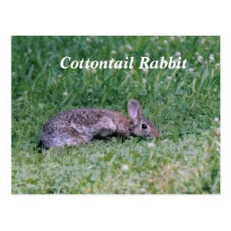 Frozen Cotton, Cottontail Rabbit Postcards