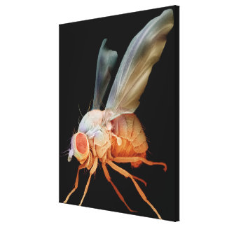 Fruit Fly Canvas Print