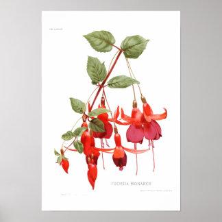 Fuchsia 'Monarch' Poster