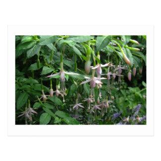 Fuchsia Shrub - White Knight's Pearl Postcard