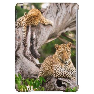 Full Grown Leopard (Panthera Pardus) Cub