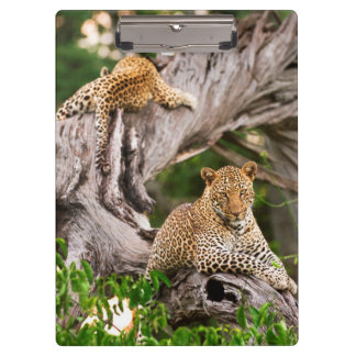 Full Grown Leopard (Panthera Pardus) Cub Clipboard
