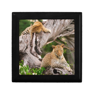 Full Grown Leopard (Panthera Pardus) Cub Gift Box