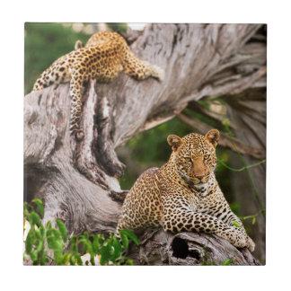 Full Grown Leopard (Panthera Pardus) Cub Tile