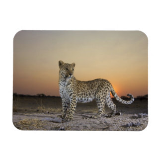 Full length view  of  Leopard (Panthera pardus) Rectangular Photo Magnet