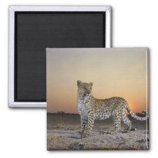 Full length view  of  Leopard (Panthera pardus) Square Magnet